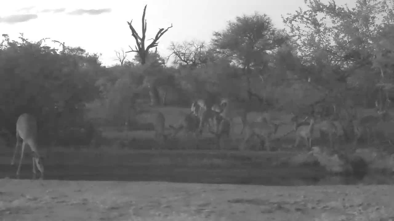 VIDEO:  Lots of Impalas enjoying dinner before bedtime