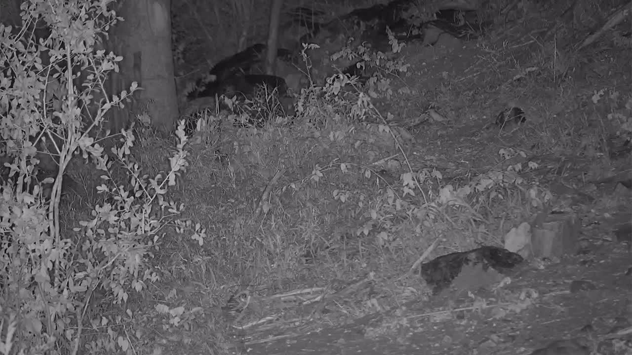 VIDEO:  A quick walk through by a Leopard seeking dinner