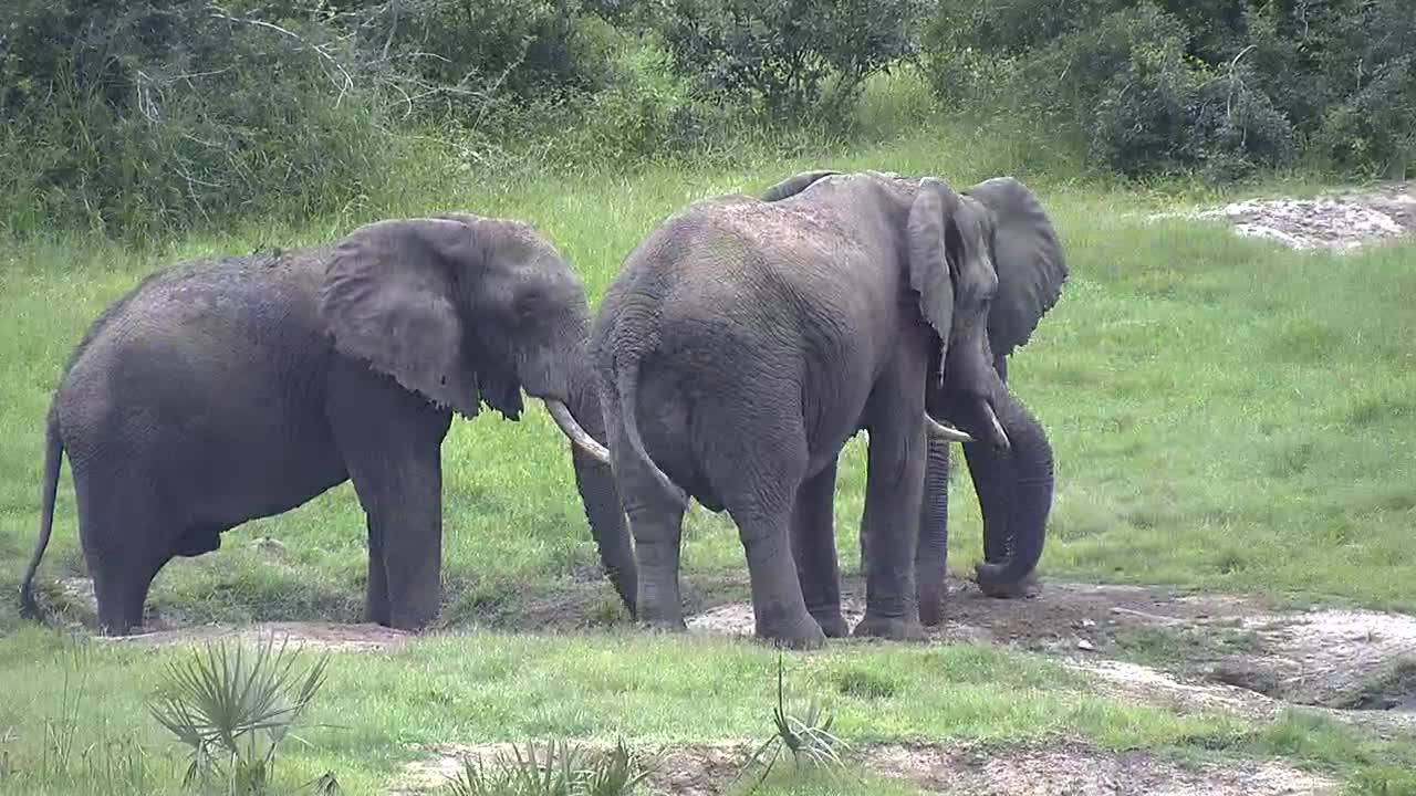 VIDEO: Elephants hold siesta in the mud puddle