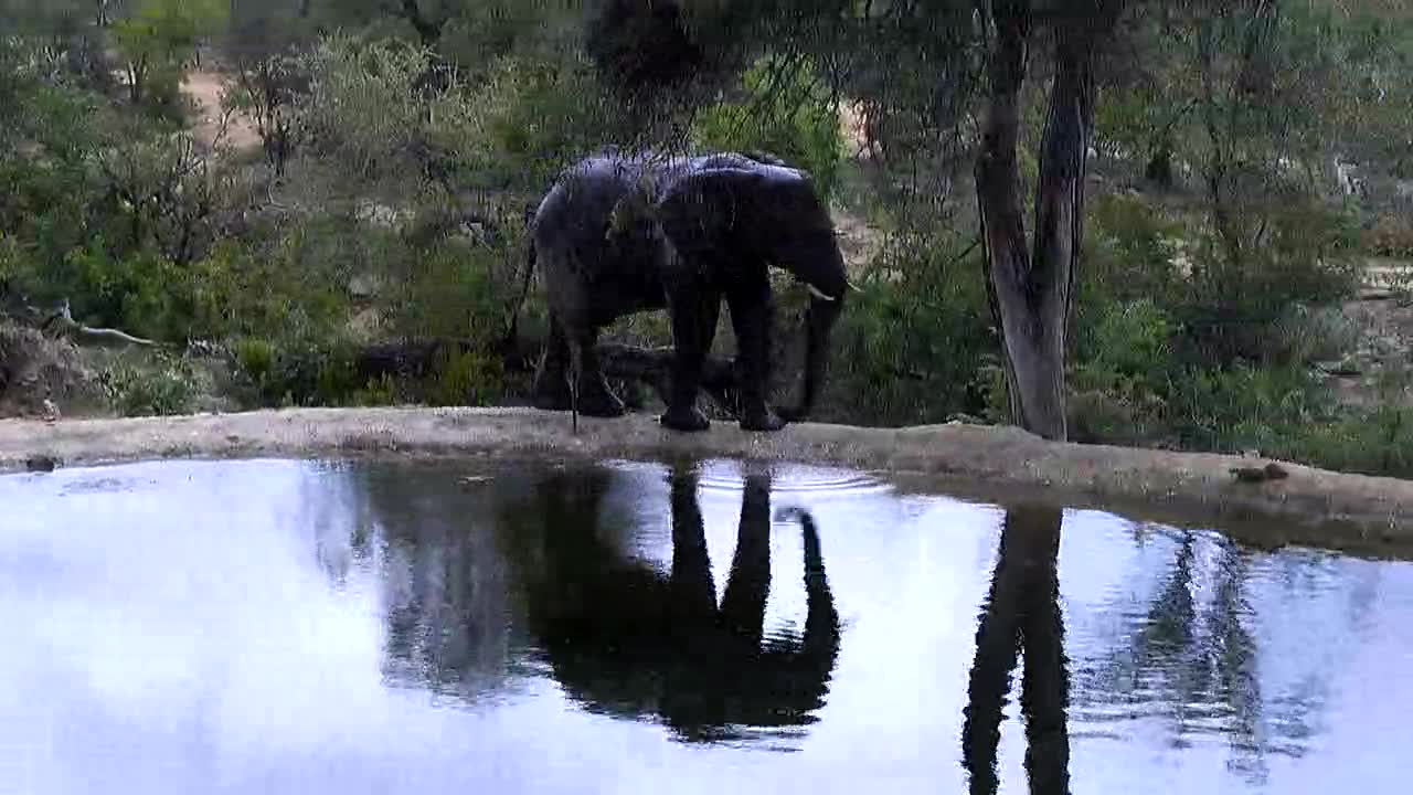 VIDEO: Elephant  drinking, taking a shower and went off into the bushes