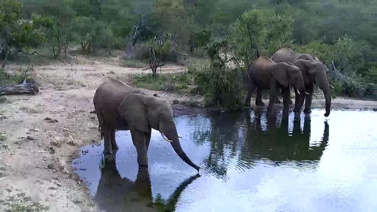 VIDEO:Elephants drinking at the waterhole