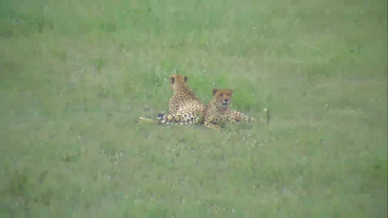 VIDEO: CHEETAH brothers lying down, Part 1