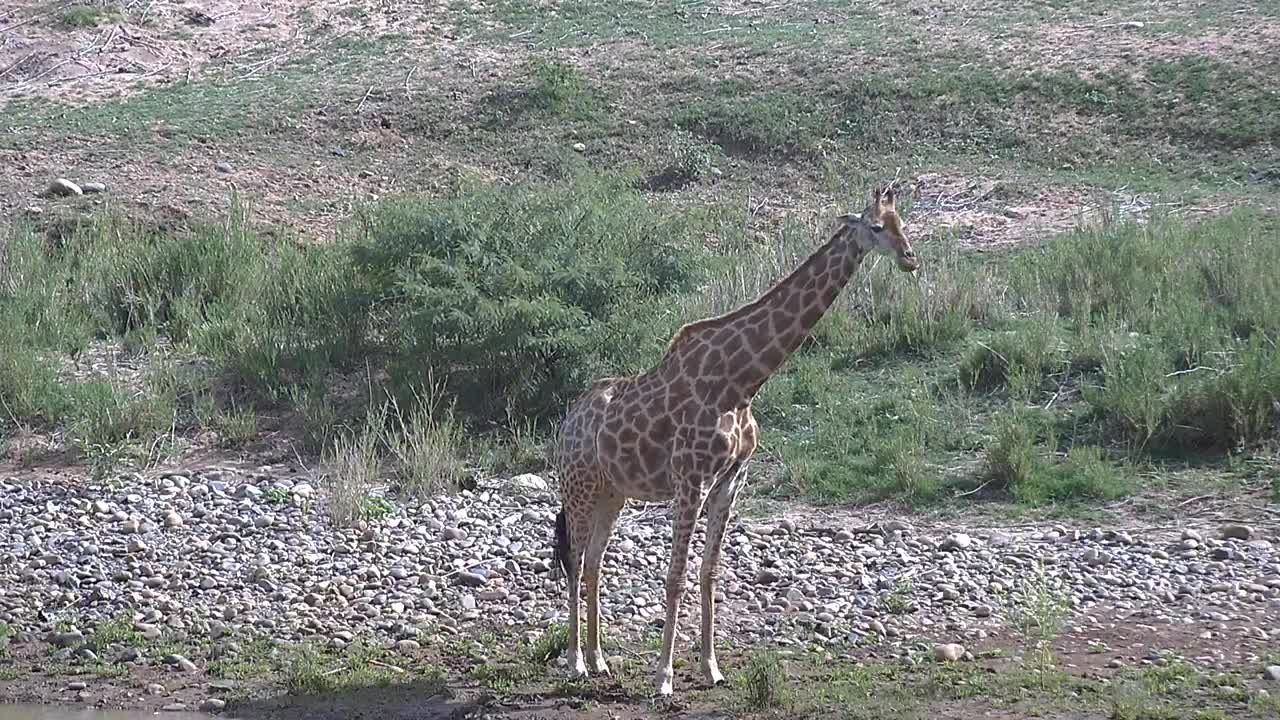 VIDEO: Giraffe comes to the river to drink