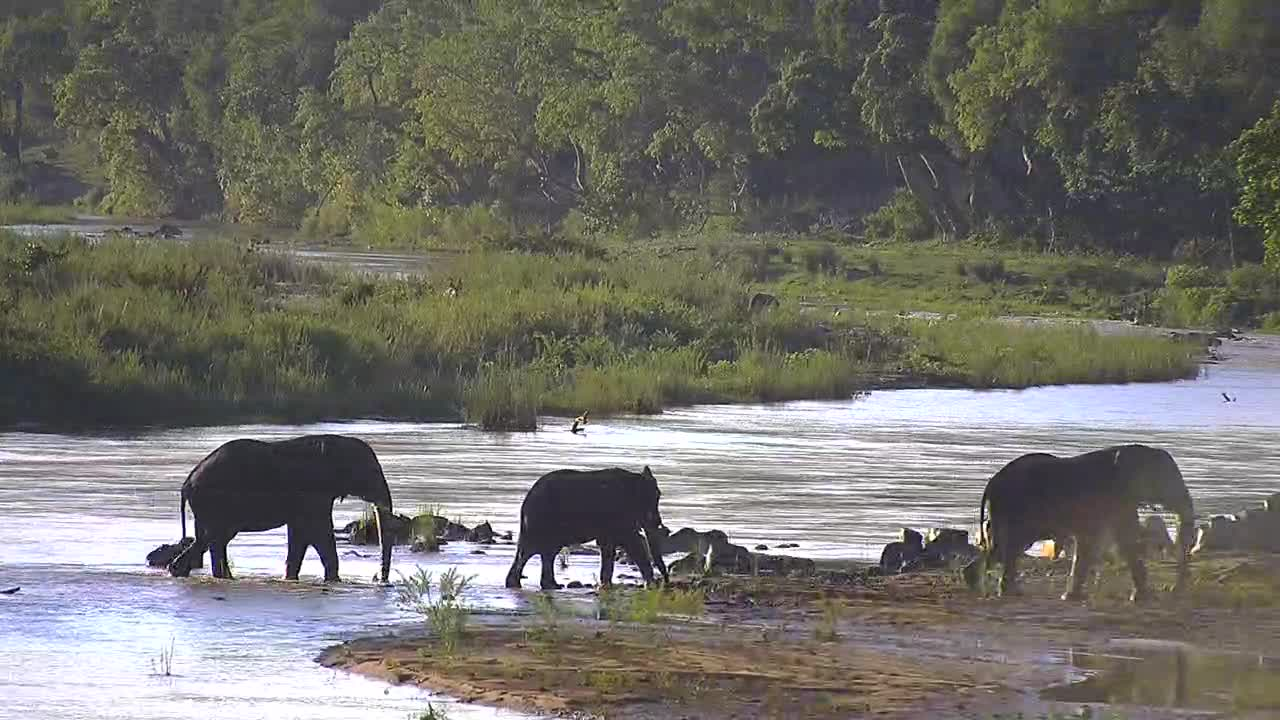 VIDEO:  Elephants crossing the river