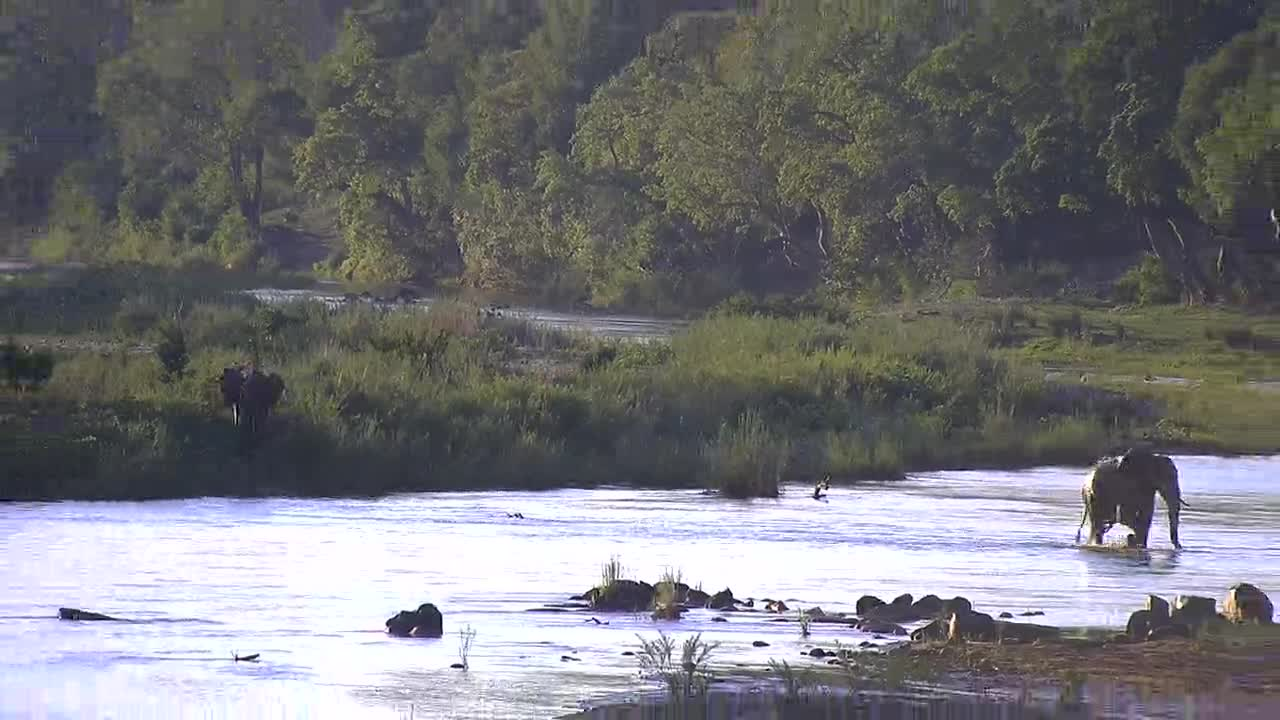 VIDEO:  Elephant walking across the river