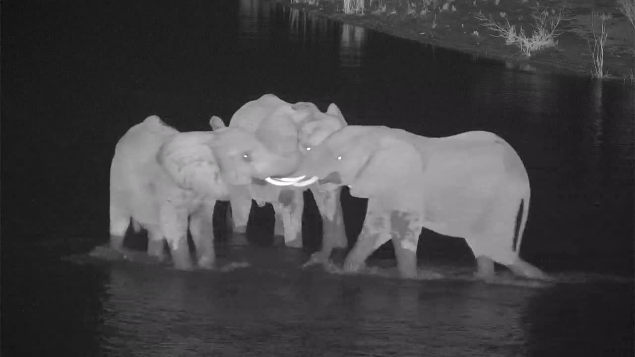 VIDEO: Elephants wade in the river - very pugnacious - one tries to mate