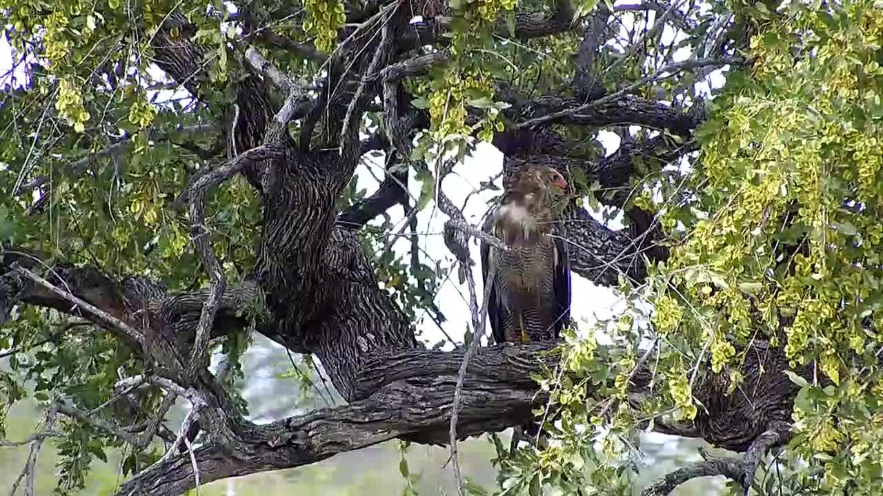 VIDEO: A Dark Chanting Goshawk looking  around in a tree