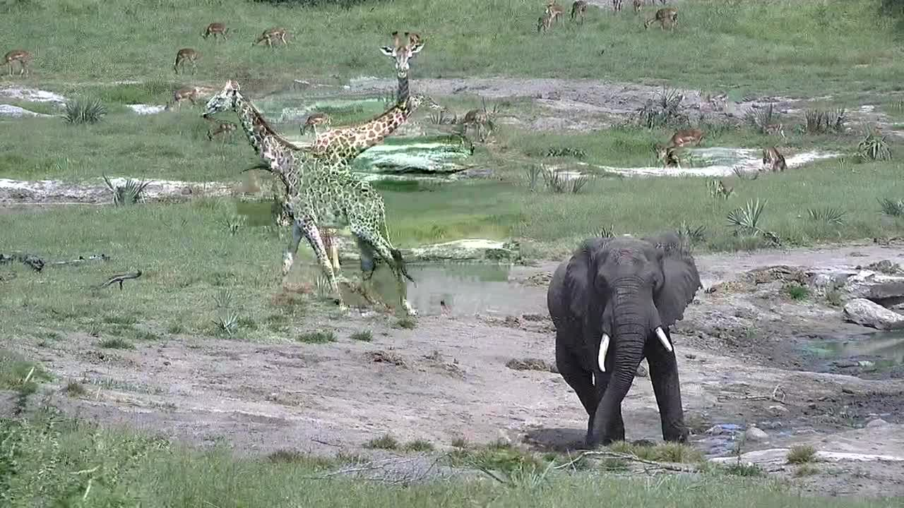 VIDEO: Giraffe, Elephant and Impalas next the waterhole