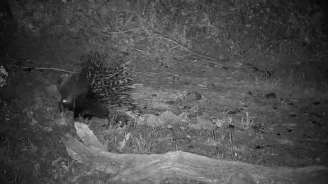 VIDEO: Porcupine wandering near the waterhole