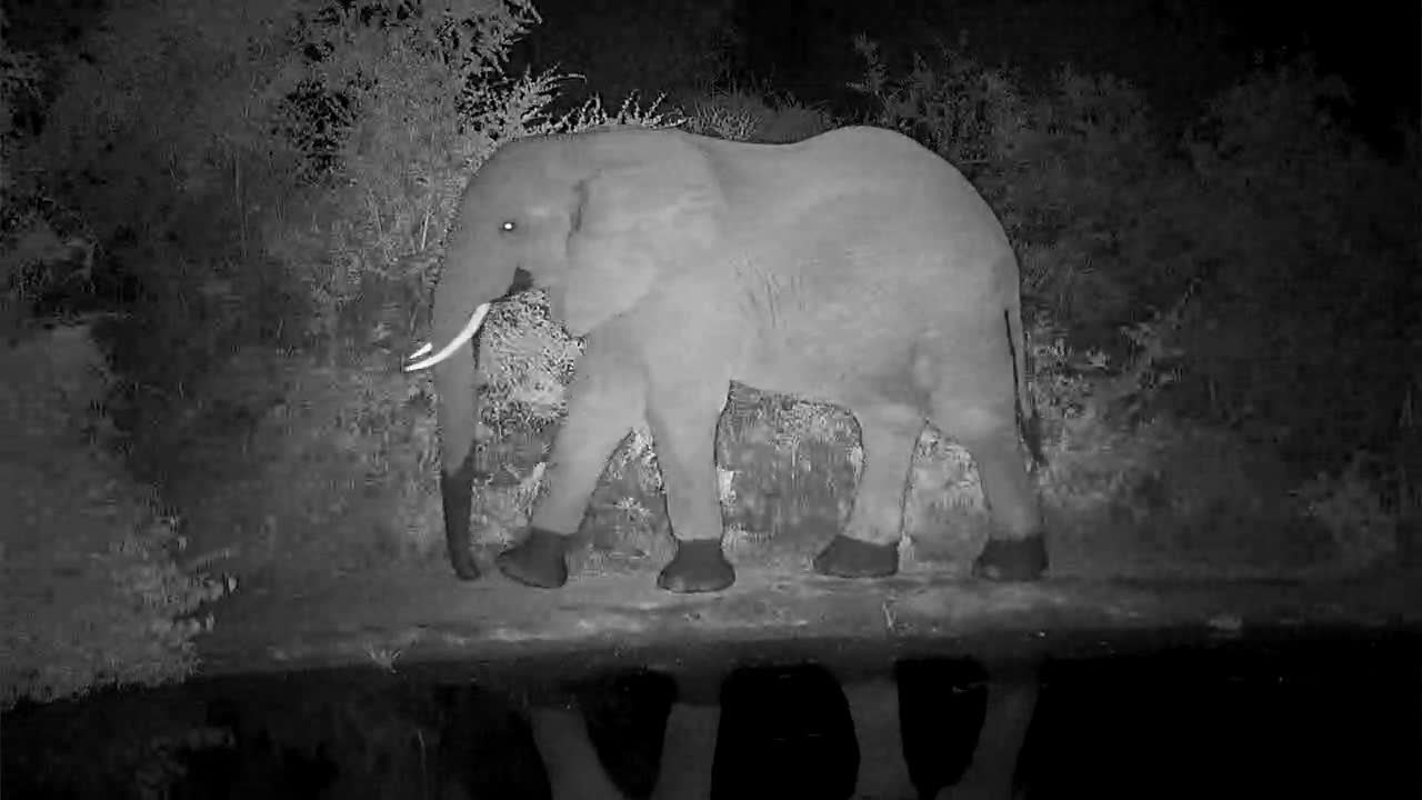 VIDEO:  After an evening drink, Elephant mosey along into the bush