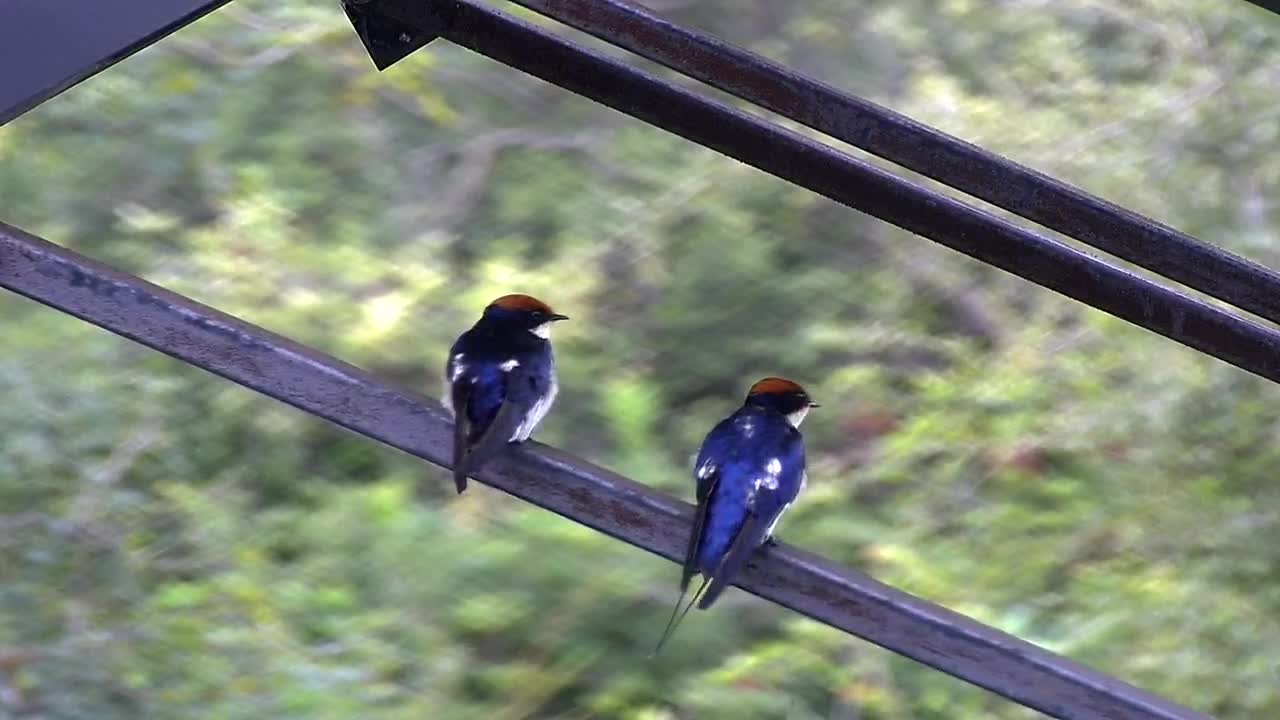 VIDEO:  Wire-tailed Swallows grooming in the cool weather