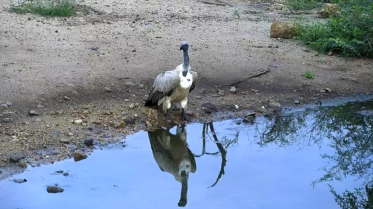 VIDEO:Cape Vulture came for a drink at the waterhole