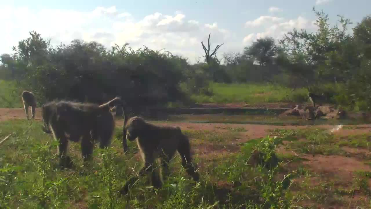 VIDEO: Baboons playing around the waterhole