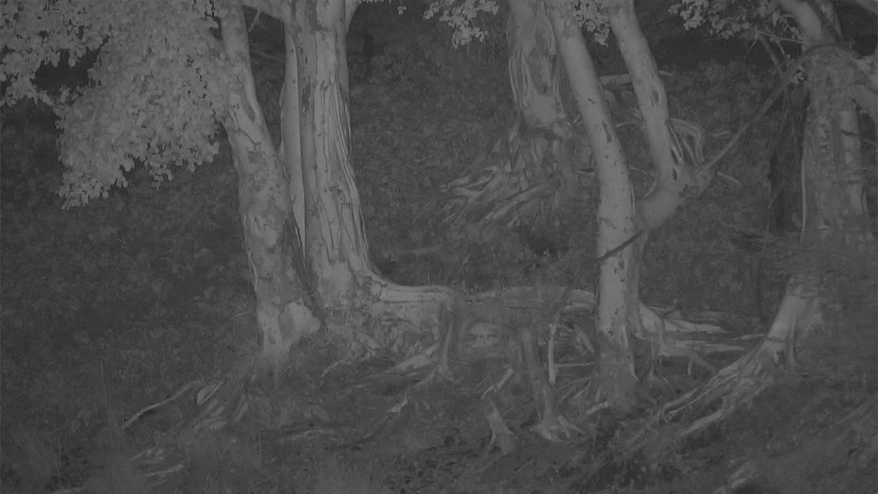 VIDEO:Porcupine searching for food