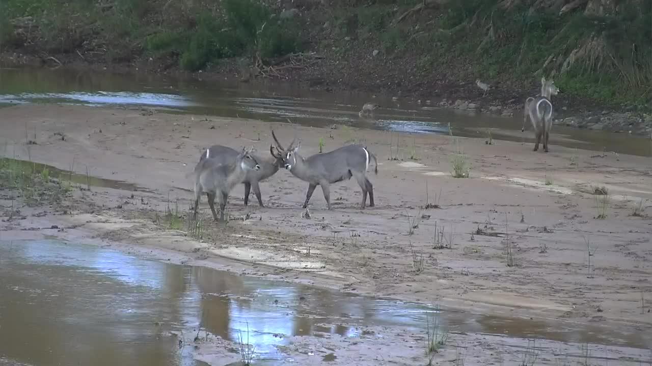 VIDEO:  2 male Waterbucks jousting on the sandbar